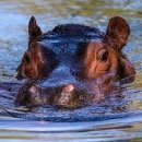 Floating Hippo