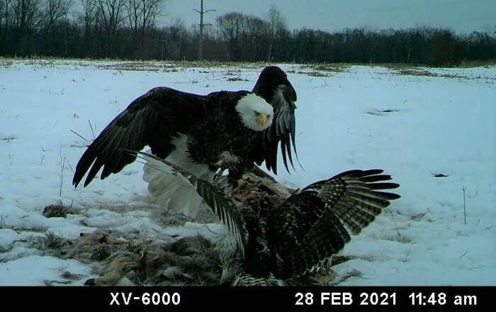 eagle and hawk sparring.jpg