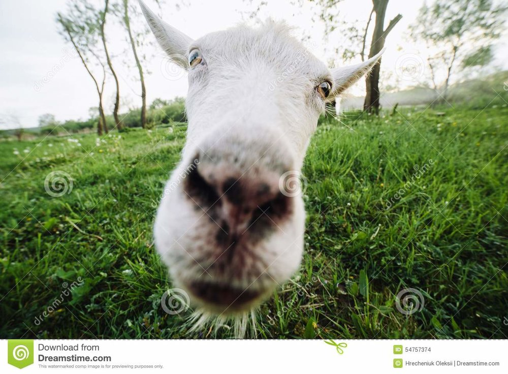 goat-looking-camera-animal-meadow-right-54757374.jpg