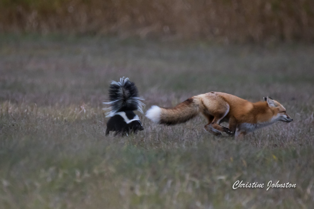 fox and skunk playing.jpg
