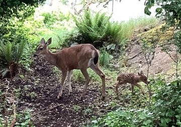 Columbian Black-tailed deer and fawn