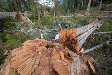 BC's vanishing old growth