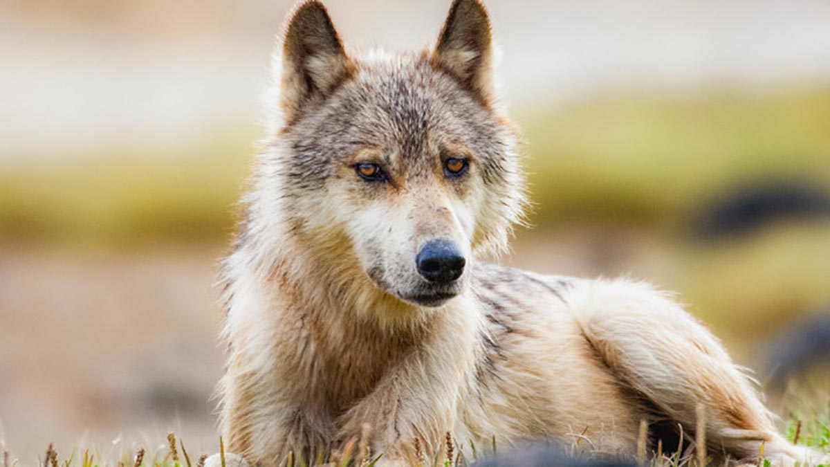 How do you feel about the indiscriminate killing of wolves?