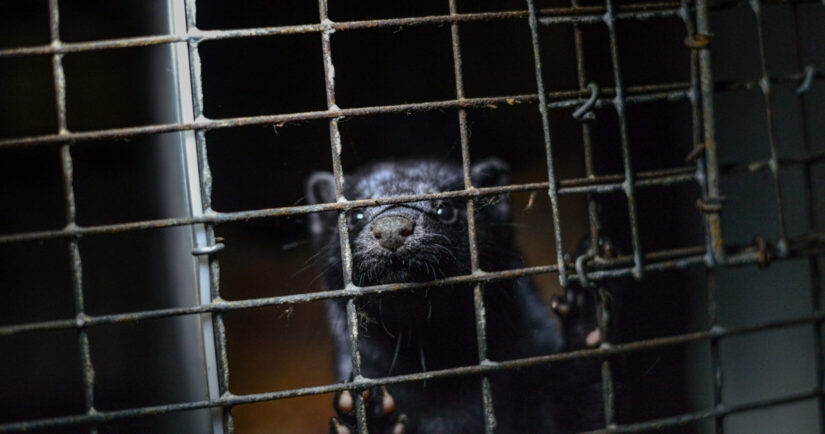 Mink in cage (photo by Jo-Anne McArthur / We Animals)