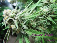 Kushes: Power, OG, Platinum