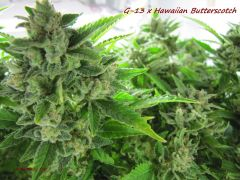 G-13 x Hawaiian Butterscotch
