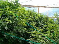 Outdoor grows can be safe