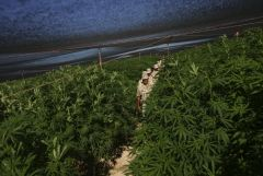 131264-massive-marijuana-field-4-of-5.jpg