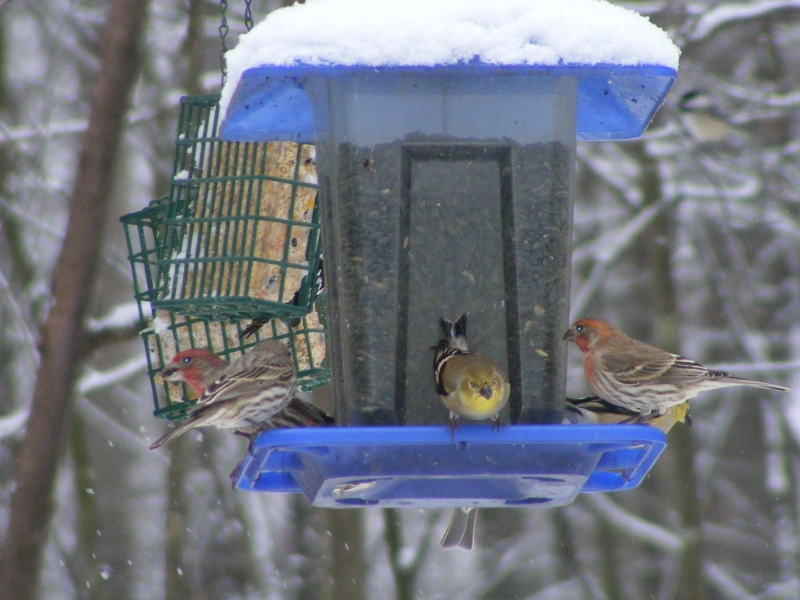 Finches 2013 02140058