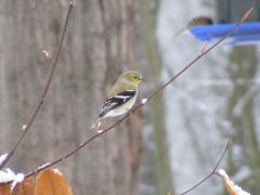 American Gold Finch 2013 02140055