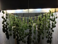 drying bud