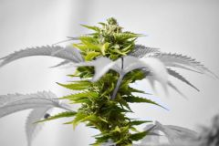 White leaf cannabis