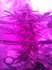 Cc 1month flower