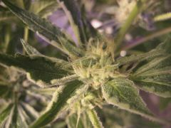 ,grape stomper 23 days ,