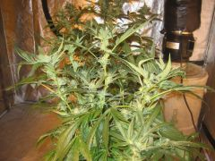 ,grape stomper 23 days