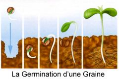 germination cannabis