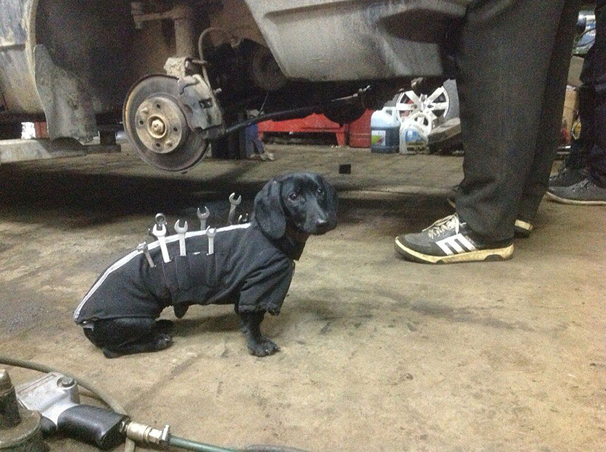 tool-dog-dachshund-suit-auto-mechanic-24.jpg