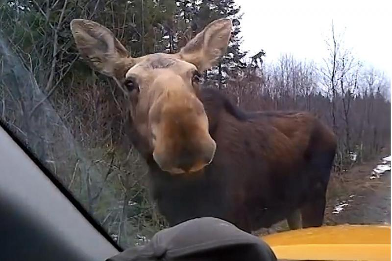 maine-moose-youtube.thumb.jpg.320c27378d46fdff23b66d63185443b2.jpg