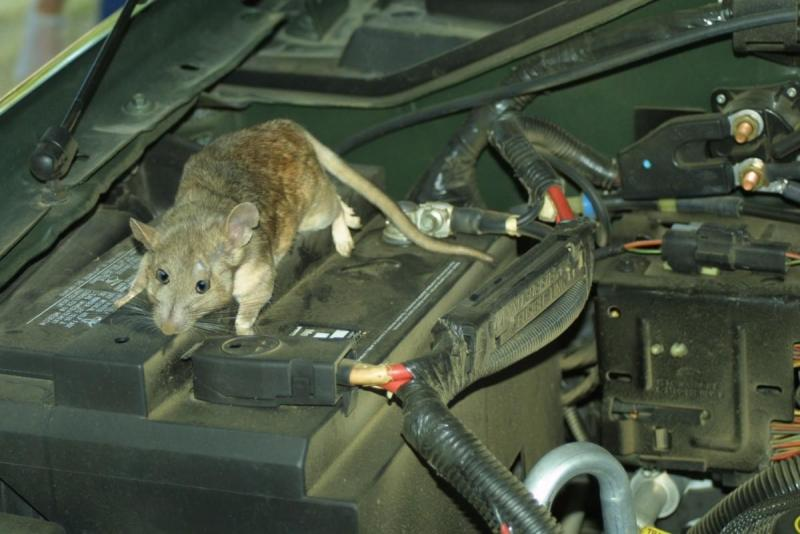 mice-in-your-motor.thumb.jpg.e7f8c84baab414e973afe68a50a51365.jpg
