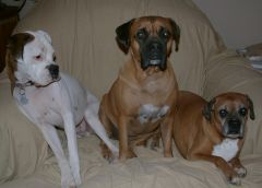 My family of Boxers