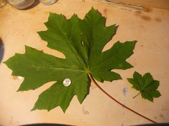 Big Leaf Maple.jpg
