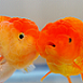 The Oranda Mermaid