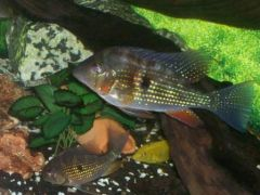 Threadfin Acaras For Sale