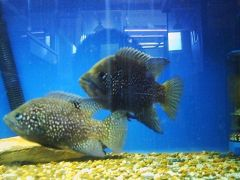 Breeding Pair of Paratilapia.jpg