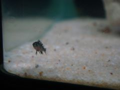 demasoni fry in 1'