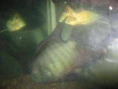 Green Severum 2