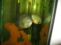 Breeding Pair - Green Severums