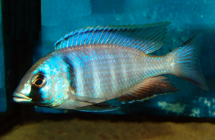 Placidochromis electras in aus - Cichlid Discussion