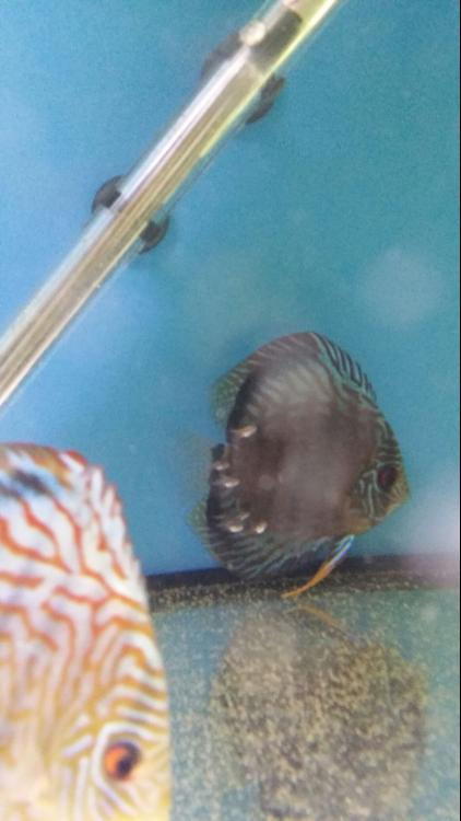 discus 2weeks old 1.jpeg