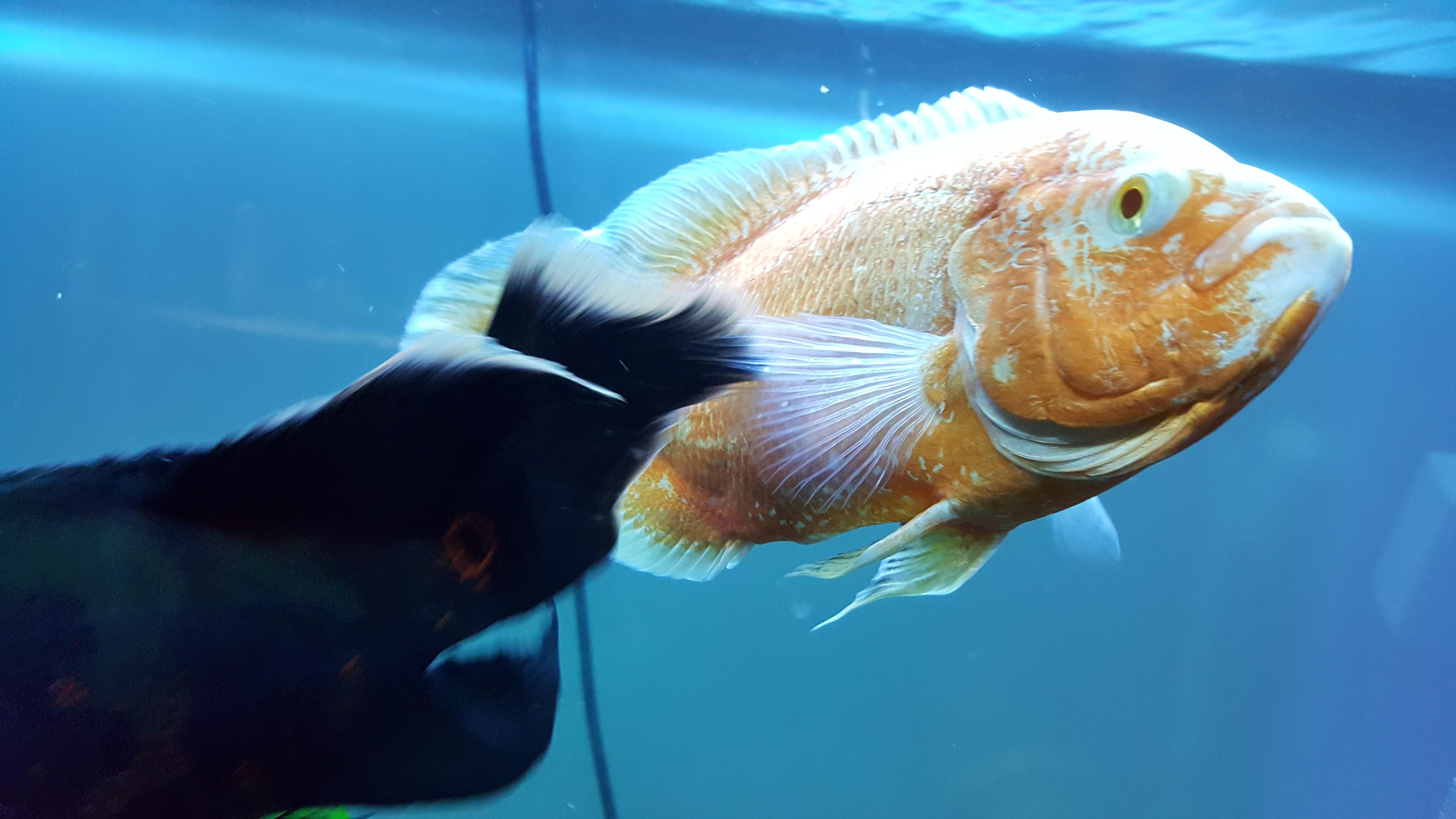 Pinched belly Oscar - Cichlid Discussion - Australian Cichlid ...