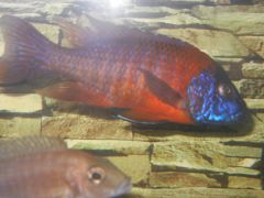 red rubin peacock