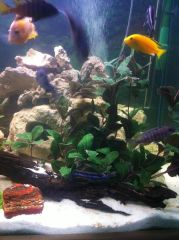Mixed Cichlid display