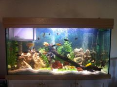 Mixed Cichlid Aquarium