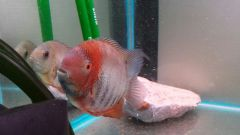 Red Shoulder Severum, (Heros sp. rotkeil)Â