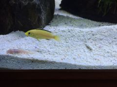 One of Six New Electric Yellow (Labidochromis caeruleus)