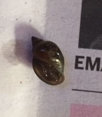 Unknown Snail (Bottom)