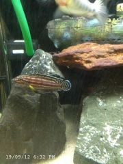 Julidochromis Regani Bujumbura Showing off