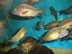 Tropheus kasanga Red Rainbow