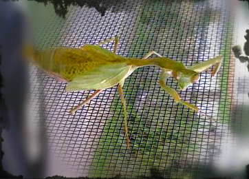 In The window  stagmomantis limbata