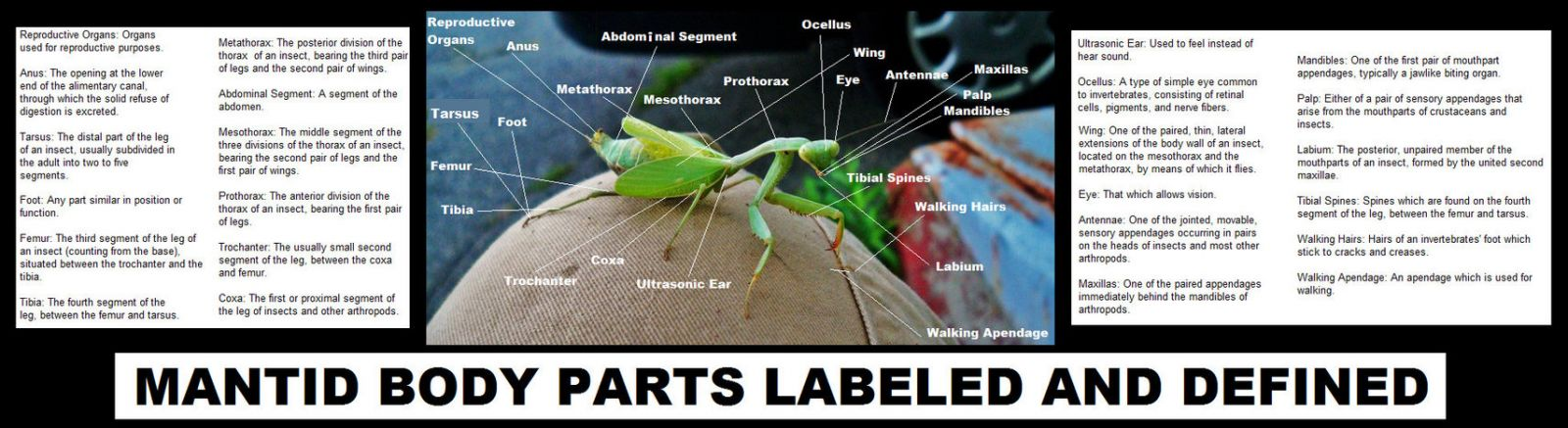 Mantid Body Parts Labeled, Majesty (Stagmomantis Limbata) As Reference