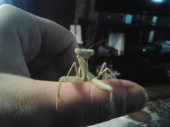 stagmomantis limbata  majesty By alexanderoony