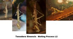 Tenodera Sinensis Molting, Becoming stage L3 mantid