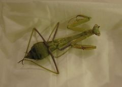 stag mantid2