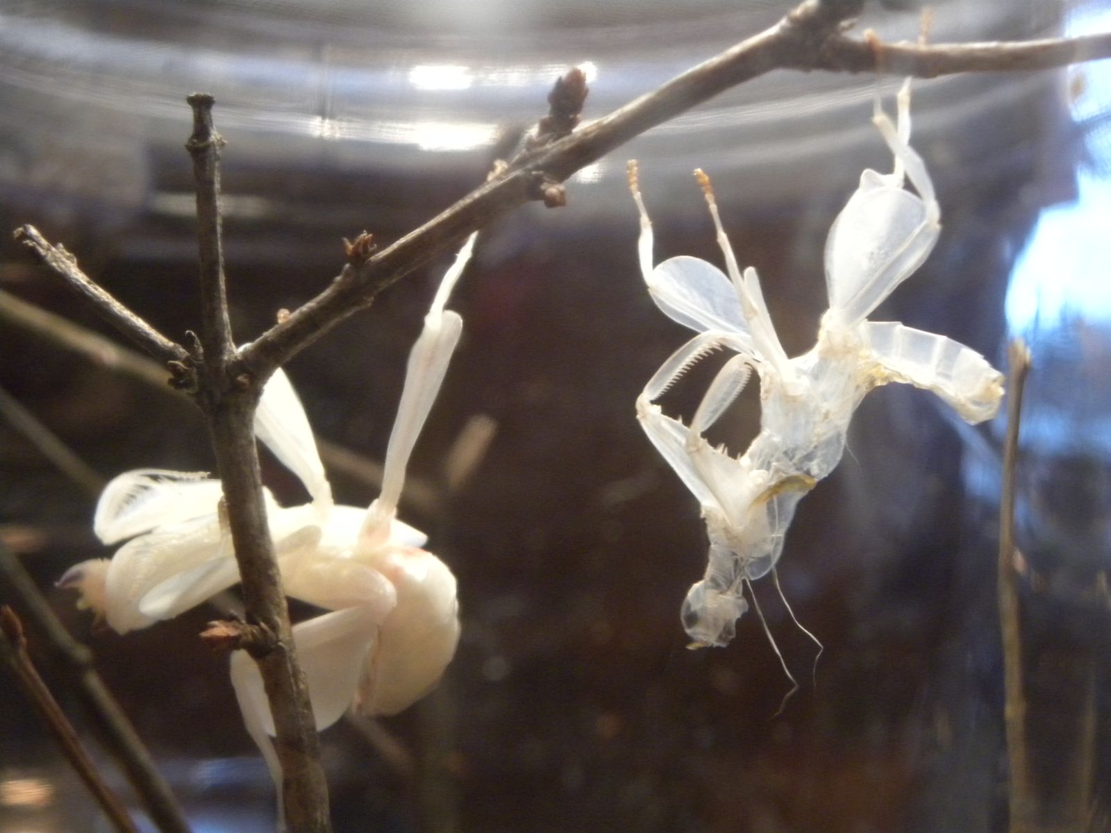 alice,hymenopus coronatus molts to subadult