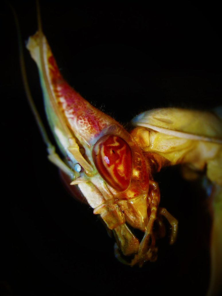 Baline, adult female Idolomantis diabolica. FACE
