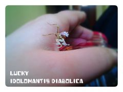 IDOLOMANTIS DIABOLICA NAMED LUCKY